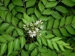 curry leaves can cause cancer